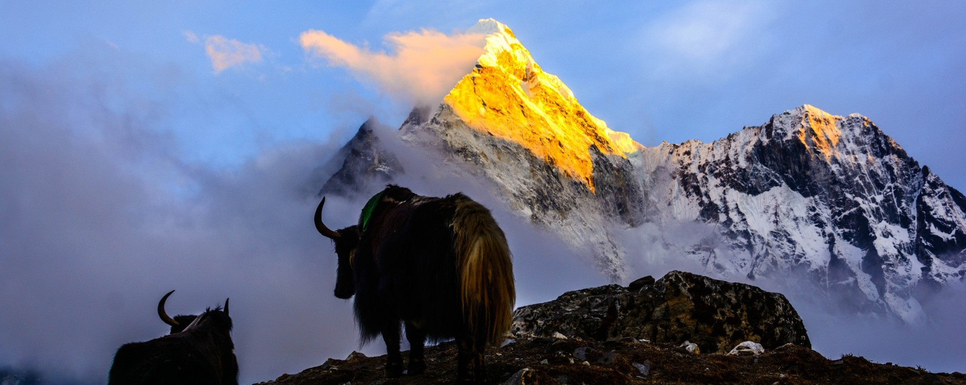 Yak at Everest