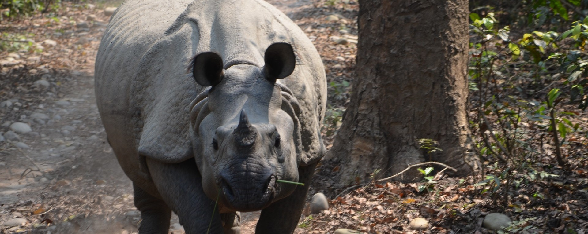 One horned Rhino at Chitwan National PArk