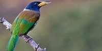 bird-watching-in-nepal-great-barbit